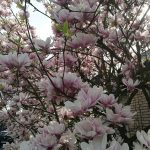 Magnolie als Frühlungsgruß